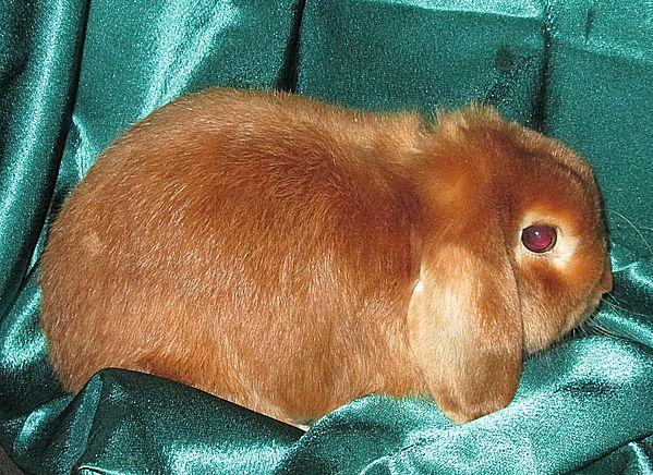 декоративный кролик цена