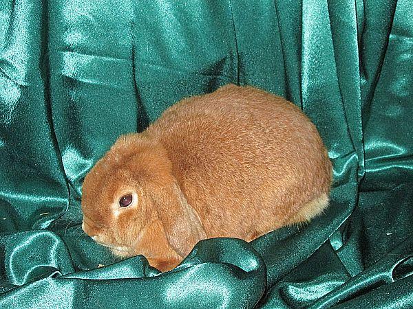Карликовый кролик цена