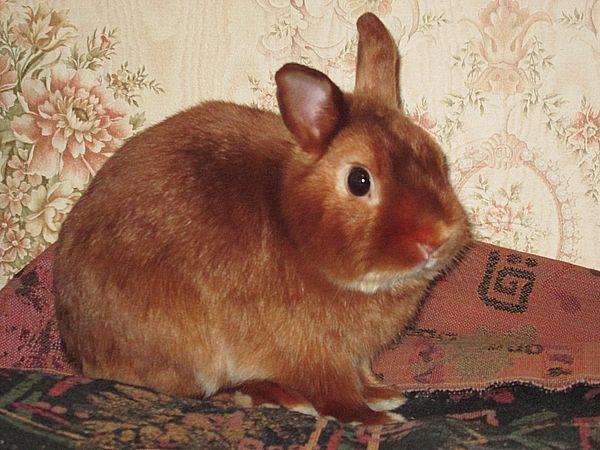Карликовый кролик питомник