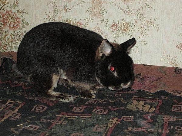 Карликовый кролик купить