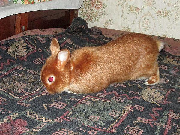 домашний кролик купить