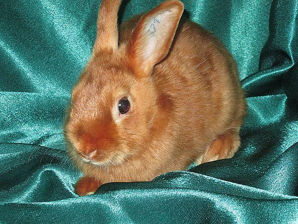 Продаётся карликовый кролик