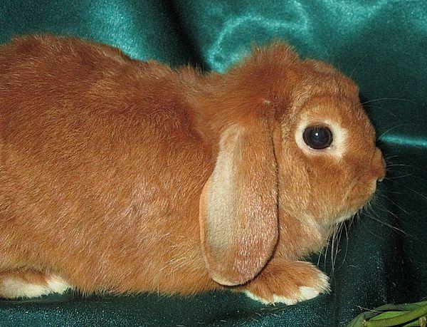 кролик порода