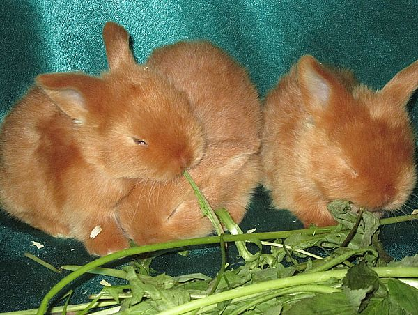 авито кролик