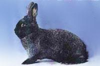 Окрасы кроликов 303