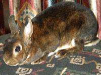 Окрасы кроликов 027