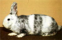 Окрасы кроликов 102