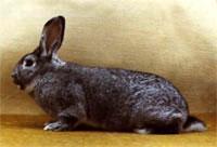 Окрасы кроликов 104