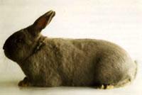 Окрасы кроликов 106