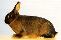 Окрасы кроликов 110