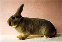 Окрасы кроликов 114