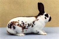 Окрасы кроликов 120