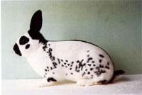 Окрасы кроликов 124
