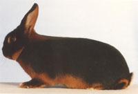 Окрасы кроликов 132