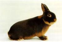 Окрасы кроликов 134a
