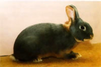 Окрасы кроликов 134b
