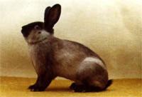 Окрасы кроликов 136