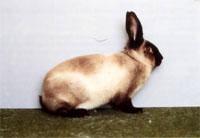 Окрасы кроликов 138