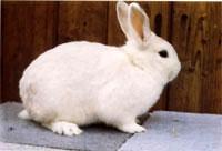 Окрасы кроликов 142
