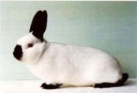 Окрасы кроликов 144