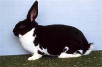 Окрасы кроликов 54