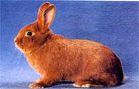 Окрасы кроликов 58b