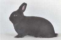 Окрасы кроликов 60