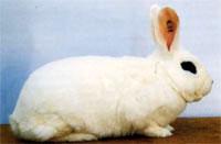 Окрасы кроликов 64