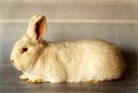 Окрасы кроликов 68