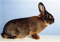Окрасы кроликов 76