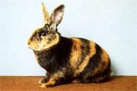 Окрасы кроликов 82