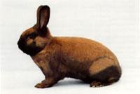 Окрасы кроликов 84