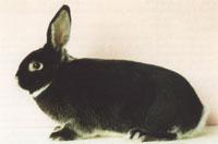 Окрасы кроликов 86