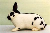 Окрасы кроликов 90