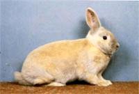 Окрасы кроликов 94